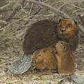 Beavers by Denny Bond