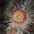 Beavertail Cactus by Bitter Buffalo Photography