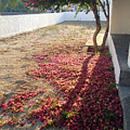 Bed Of Bougainvillea by Clay Cofer
