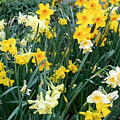 Bed Of Daffodils by Maro Kentros