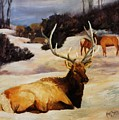 Bedded Down   Bull Elk In Snow by Kim Corpany