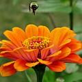 Bee Above Orange Zinnia by Lynne Miller