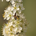 Bee And Blossoms by Eric Liller