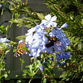 Bee And Butterfly II by Edward Wolverton