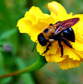 Bee And Marigold by Patricia Motley