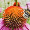 Bee And Pink Flower by Vadzim Kandratsenkau