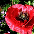 Bee And Red Poppy by Will Borden