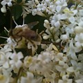 Bee And Small White Blossoms 2 by Helen Orth