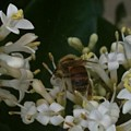 Bee And Small White Blossoms by Helen Orth