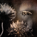 Bee Approaching Red Clover Blossom by Peter v Quenter