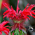 Bee Balm by Alan Lenk