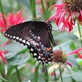 Bee Balm Butterfly by Sandra Bourret