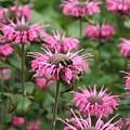 Bee Balm by Carol Groenen