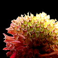 Bee Balm by Diane Merkle