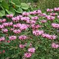 Bee Balm Garden by Carol Groenen