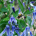 Bee Buzzing Through Blue Beauty by Katherine Nutt