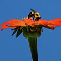 Bee Dreamsicle by Janet Ballard