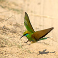 Bee Eater Landing by Ramabhadran Thirupattur