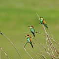 Bee Eaters In The Sun by Cliff Norton