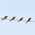 Bee Eaters On A Witre  by Cliff Norton