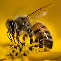Bee Enjoys Collecting Pollen From Yellow Coreopsis by Em Witherspoon