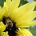 Bee In Sunflower by Monica Sassano
