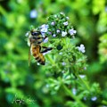 Bee Is In The Oregano by MaryLee Parker
