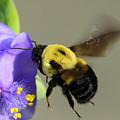 Bee Landing On Spiderwort Flower by Steve Samples