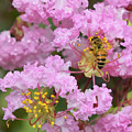 Bee On A Crepe Myrtle Flower by Olga Hamilton