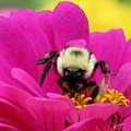 Bee On A Hot Pink Zinnia by Lynne Miller