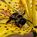 Bee On A Lily by William Selander
