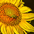 Bee On A Sunflower by Judy Hall-Folde