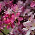 Bee On Apple Blossom by Kae Cheatham