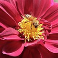 Bee On Beautiful Dahlia by Carol Groenen