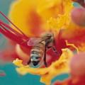 Bee On Bird Of Paradise 100 by Diane Backs-Mancuso