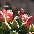 Bee On Cactus In Croatia by Stan Roban