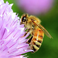 Bee On Chive Flower by Ann E Robson