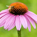 Bee On Cone Flower by Larry Ricker