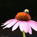 Bee On Coneflower 2 by Kathy Baucum