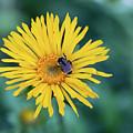 Bee On Curlyhead Goldenweed by Meagan Watson