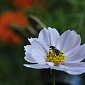Bee On Daisy by David Arment