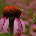 Bee On Echinacea by Jean Noren