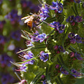 Bee On Echium by Jean Booth