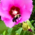 Bee On Edge Of A Hibiscus Flower by Debra Lynch