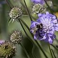 Bee On Flower 4. by Les OGorman