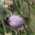 Bee On Flower 5. by Les OGorman