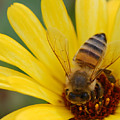 Bee On Flower by Amy Fose