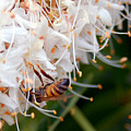 Bee On Flowers 1 by Amy Fose