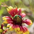 Bee On Gaillardia by Diane Macdonald