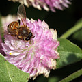 Bee On Gomphrena by Jeannie Burleson